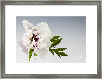 Peony Flower On Gray Framed Print by Elena Elisseeva