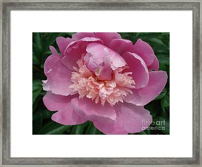 Peony Full Bloom Framed Print