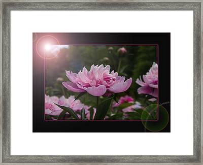 Framed Print featuring the photograph Peony Garden Sun Flare by Patti Deters