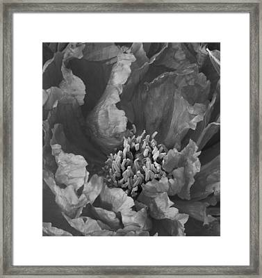 Peony In Black And White 1 Framed Print by Bruce Bley