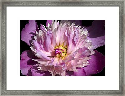 Peony In Bloom Framed Print by Christina Rollo