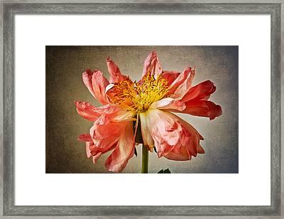 Peony Framed Print by Kim Aston