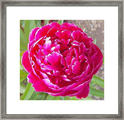 Peony Magnifico Framed Print by John Norman Stewart