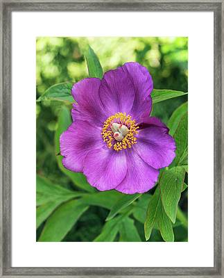 Peony (paeonia Cambessedesii) Flower Framed Print by Adrian Thomas/science Photo Library