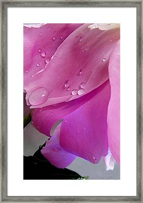 Peony Petals With Water Drops Macro Framed Print by Danielle  Parent