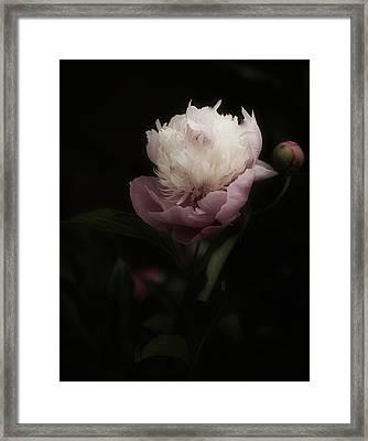 Peony Romantica Framed Print