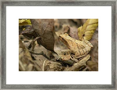 Pepper Treefrog, St Framed Print by Rob Sheppard