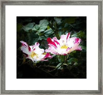 Peppermint Roses Framed Print