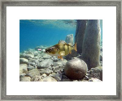 Perch And Dardevle Framed Print