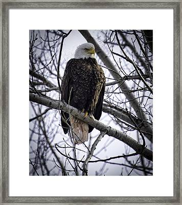 Perched Adult American Bald Eagle Framed Print by Thomas Young