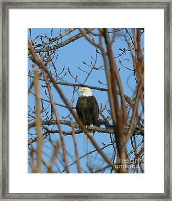 Perched American Bald Eagle  Framed Print by Neal Eslinger