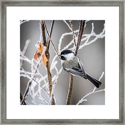 Perched Black Capped Chickadee Framed Print by Paul Freidlund