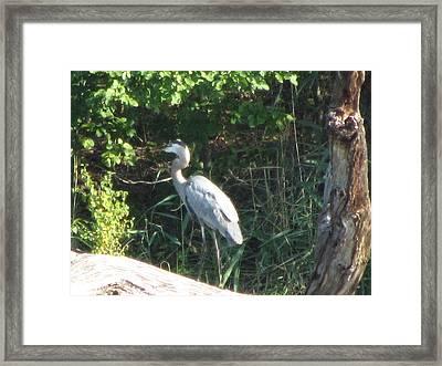 Perched Blue Heron Pondering Framed Print by Debbie Nester