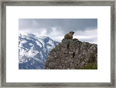 Perched Marmot Framed Print