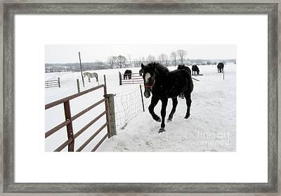 Percheron Horse Colt In Snow Framed Print