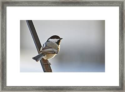 Perching Black Cap Framed Print