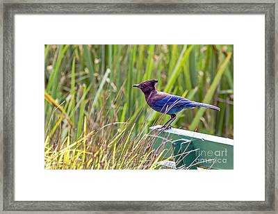 Perching Jay Framed Print