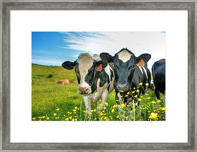 Percy's Holsteins Framed Print
