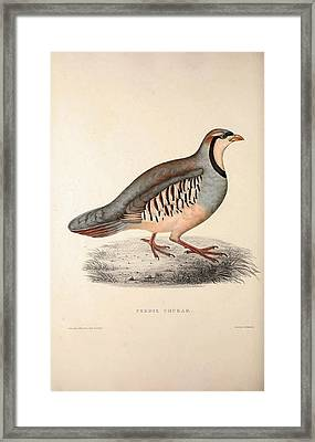 Perdix Chukar, Chukar Partridge. Eurasian Upland Gamebird Framed Print by Quint Lox