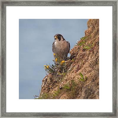 Perefrine Falcon Framed Print