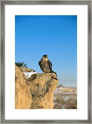 Peregrine Falcon Framed Print by Alan D. Carey