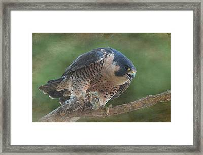 Peregrine Falcon Framed Print by Angie Vogel