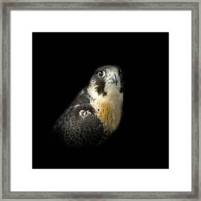 Peregrine Falcon Framed Print by Bill Wakeley