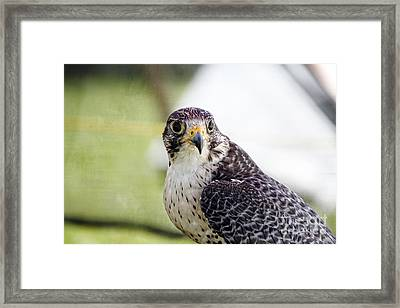Framed Print featuring the photograph Peregrine Falcon Bird Of Prey by Eleanor Abramson