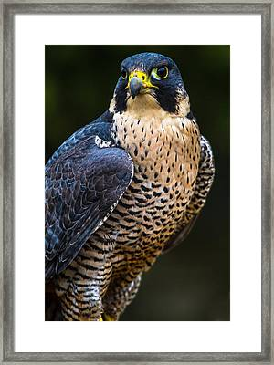 Peregrine Falcon Framed Print by Craig Brown