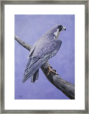 Peregrine Falcon Framed Print by Crista Forest