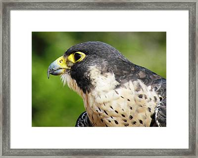 Framed Print featuring the photograph Peregrine Falcon by Cynthia Guinn