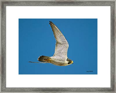 Peregrine Falcon Fly-by Framed Print