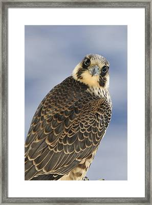 Peregrine Falcon Looking At You Framed Print by Bradford Martin