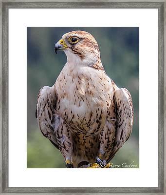 Peregrine Falcon Framed Print by Marie  Cardona