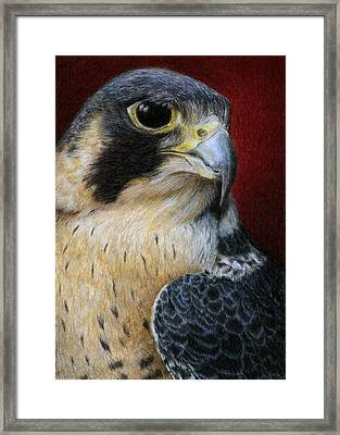 Peregrine Falcon Framed Print by Pat Erickson