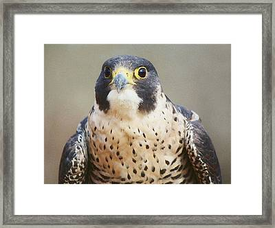 Peregrine Falcon Framed Print by Paulette Thomas