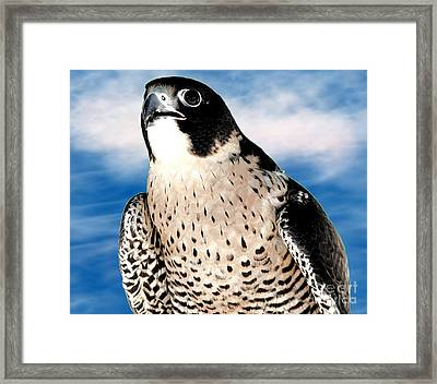 Peregrine Falcon Framed Print by Rose Santuci-Sofranko
