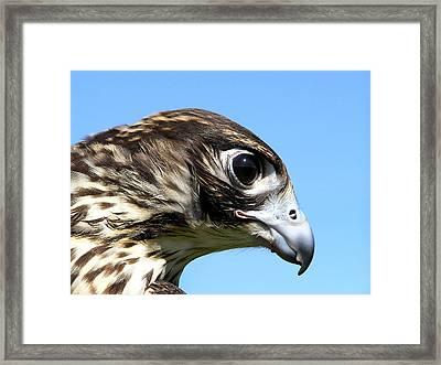 Peregrine Falcon Tashunka Framed Print by Christina Rollo