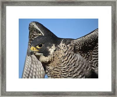 Peregrine Falcon Up Close Framed Print by Paulette Thomas