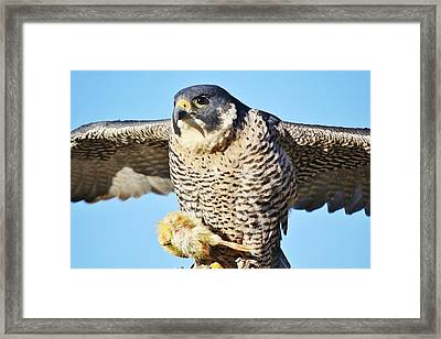 Peregrine Falcon With Chicken For Dinner Framed Print by Paulette Thomas