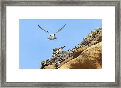 Peregrine Falcons - 2 Framed Print