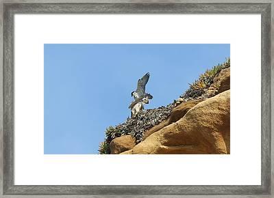 Peregrine Falcons - 3 Framed Print