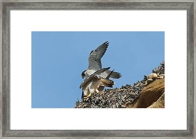 Peregrine Falcons - 4 Framed Print