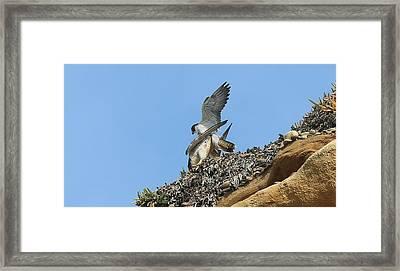 Peregrine Falcons - 5 Framed Print