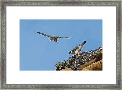 Peregrine Falcons - 6  Framed Print