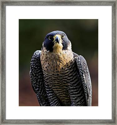Peregrine Focus Framed Print by Mary Jo Allen