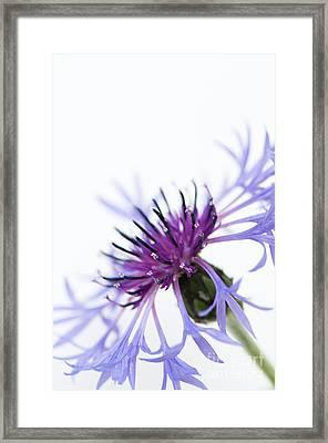 Perennial Cornflower Framed Print by Anne Gilbert