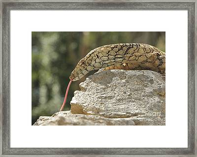 Perentie Framed Print by Craig Dingle