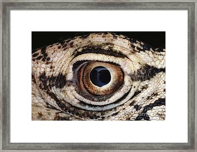Perentie Lizard Eye Framed Print by Gregory G. Dimijian, M.D.