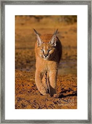 Perfect Composure Framed Print by Ashley Vincent